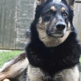 Bilba (German Shepherd Dog)