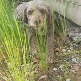 Baya (Spanish Water Dog)