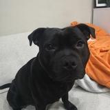 Pistón  (Staffordshire Bull Terrier)