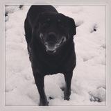 Belle (Rottweiler)