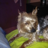 Nina - Yorkshire Terrier