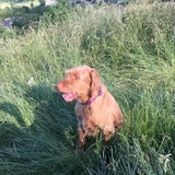 Issy (Wirehaired Vizsla)