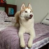 Zhenya (Siberian Husky)