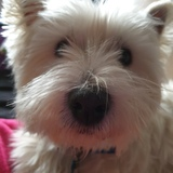 George (West Highland White Terrier)