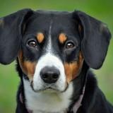 Cleo (Entlebucher Sennenhund)