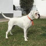 Gina (Boxer)