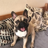Benny  (Bulldog Francés)