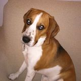 Porthos (Beagle Harrier)