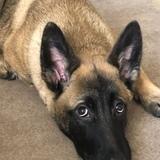Chavresh (German Shepherd Dog)