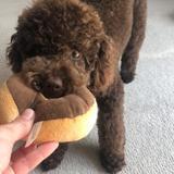 Georgie (Poodle Miniature)