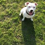 Avis (Staffordshire Bull Terrier)