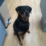 Ella (Rottweiler)
