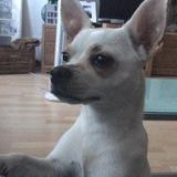 Coco (Chihuahua)
