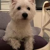 Elsa (West Highland White Terrier)