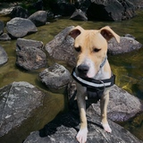 Keico  - American Staffordshire Terrier