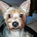 Crispeta (Yorkshire Terrier)
