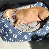 Lola (Pinscher Miniatura)