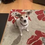 Skattie (Jack Russell Terrier)