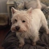 Little Mac (West Highland White Terrier)
