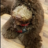 Carl  (Giant Poodle)