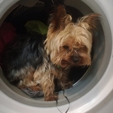 Balu - Yorkshire Terrier