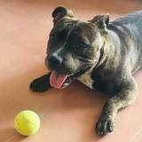 Baco (Staffordshire Bull Terrier)