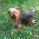 Leo - Yorkshire Terrier