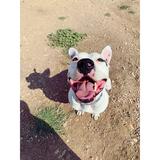 Mambo - American Staffordshire Terrier