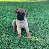 Cesar (Bullmastiff)