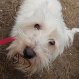 Alby (West Highland White Terrier)