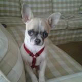 Brownie (Chihuahua)