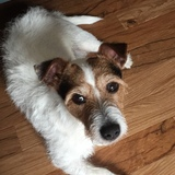 Tyrone (Jack Russell Terrier)