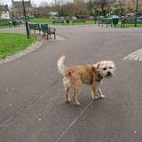 Shug (Border Terrier)