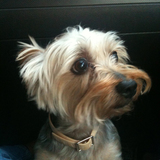 Guss - Yorkshire Terrier