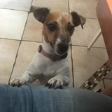 Quira (Jack Russell Terrier)