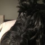 Lexi (Scottish Terrier)
