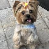 Audrey  (Yorkshire Terrier)