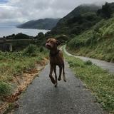 Rumo (Kurzhaariger Ungarischer Vorstehhund)