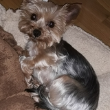 Shira - Yorkshire Terrier