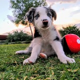 Trece (Border Collie)