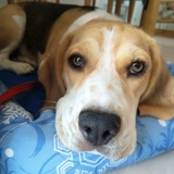Smar - Beagle