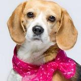 Sia - Beagle