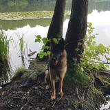 Buddy (Deutscher Schäferhund)