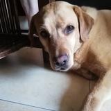 Lara - Labrador Retriever