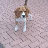 Pertxa - Beagle