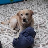 HAPPY - Labrador Retriever