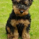 Arthur (Welsh Terrier)