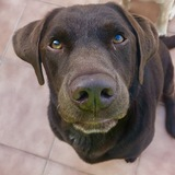 Snatch (Labrador Retriever)
