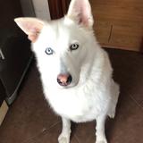 Zeus (Husky Siberiano)