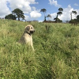 Nelly  (Irish Wolfhound)